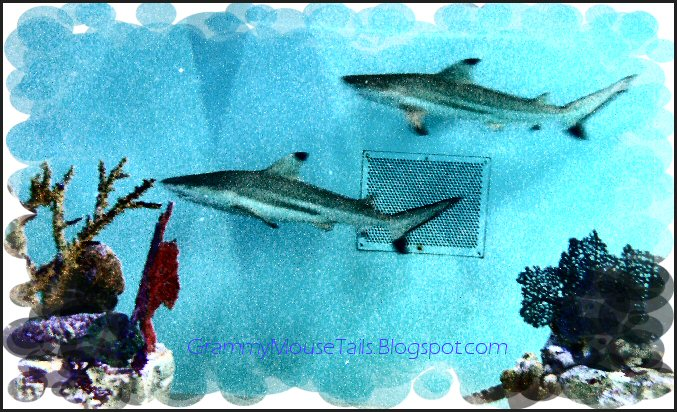 shark photo black tip reef shark image