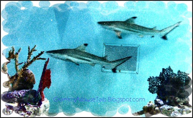 shark photo black tip reef shark image