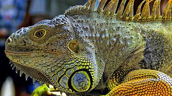 #7 Iguana Wallpaper