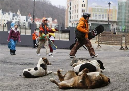 sochi russia is overrun with wild dogs, add tot he list of sochi problems