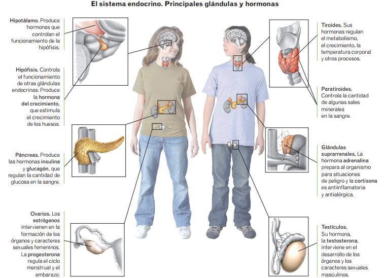 El Organismo: El Sistema Endocrino