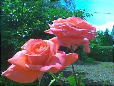São rosas, senhores!...