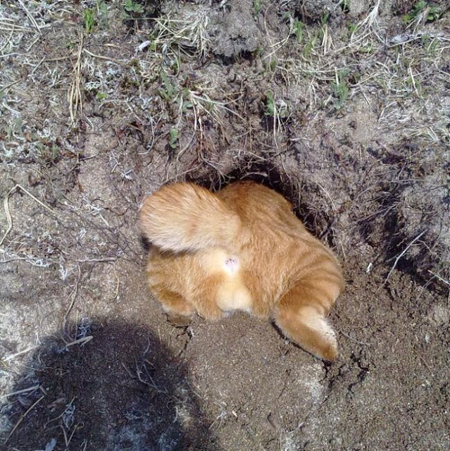Funny cats - part 85 (40 pics + 10 gifs), cat tries to fit into hole in the ground
