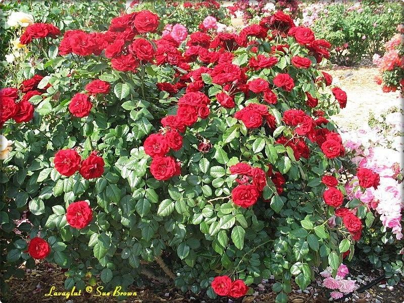Priprema Ruža za zimu - Moj Vrt Cvijeća
