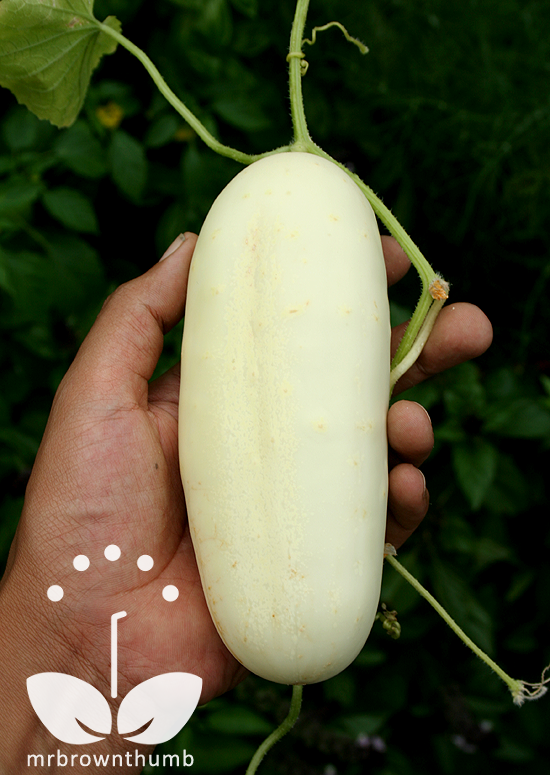 Cucumber 'White Wonder' Burpee Seeds