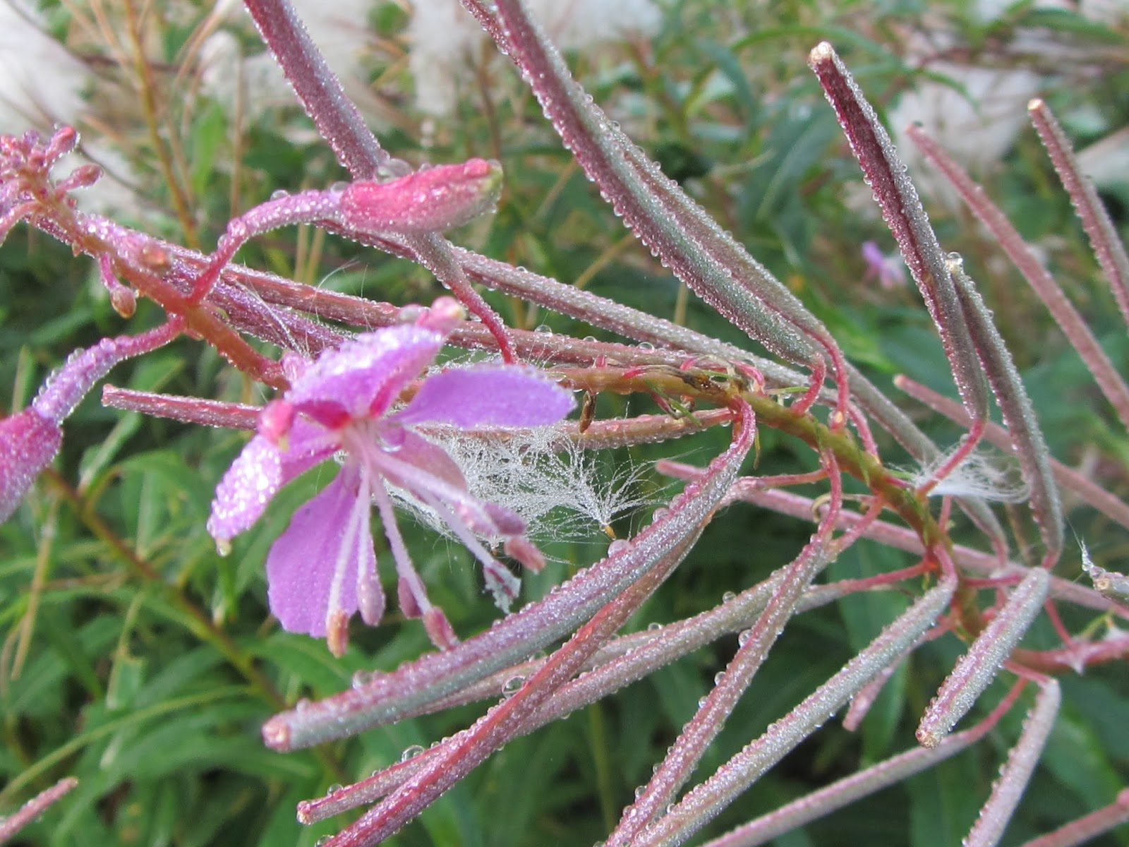 Jan wilde een tuin: wilgenroosje chamerion angustifolium