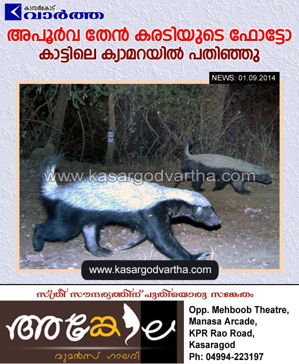 Mangalore, Forest, Elusive, Carnivorous animal, Honey Badger, Detected, Karnataka forests, Conservationists, Photographed, Animal, Camera, Cauvery Wildlife sanctuary