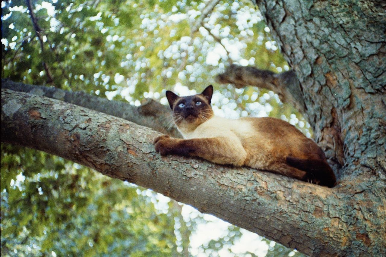 siamese cat in tree