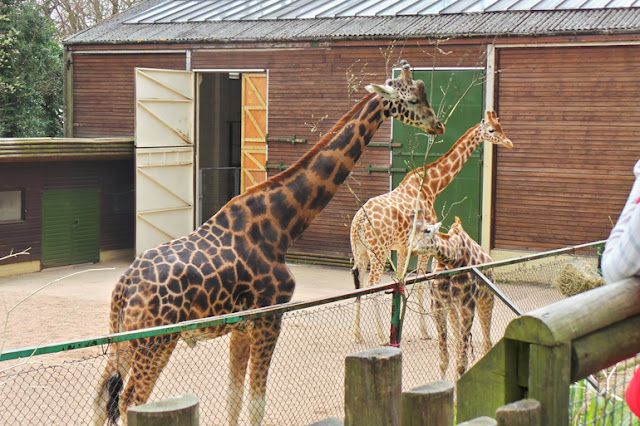 Dudley Zoo and Castle Giraffes