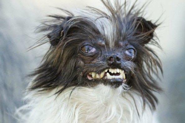 Peanut The 'World's Ugliest Dog' 2014