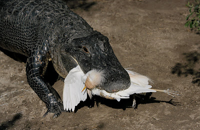 American Alligator Hunting Birds