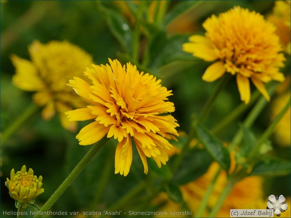 Heliopsis helianthoides var. scabra 'Asahi' - Słoneczniczek szorstki 'Asahi'