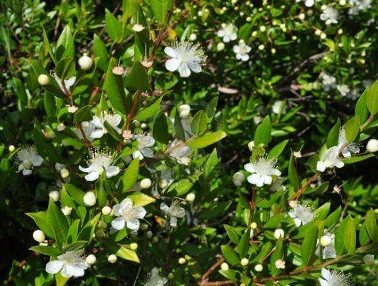 Piante e fiori mirto for Nomi di alberi sempreverdi