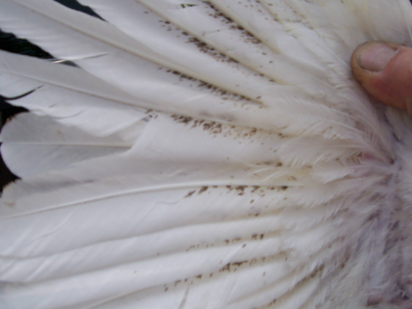 Feather mites leave behind what looks like mold on chicken feathers ... You Better Have Burn Heal