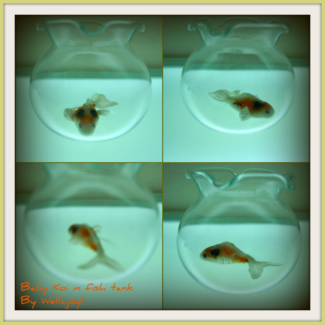 Wellajoy 39 s miniature koi fish with videos for Baby koi fish