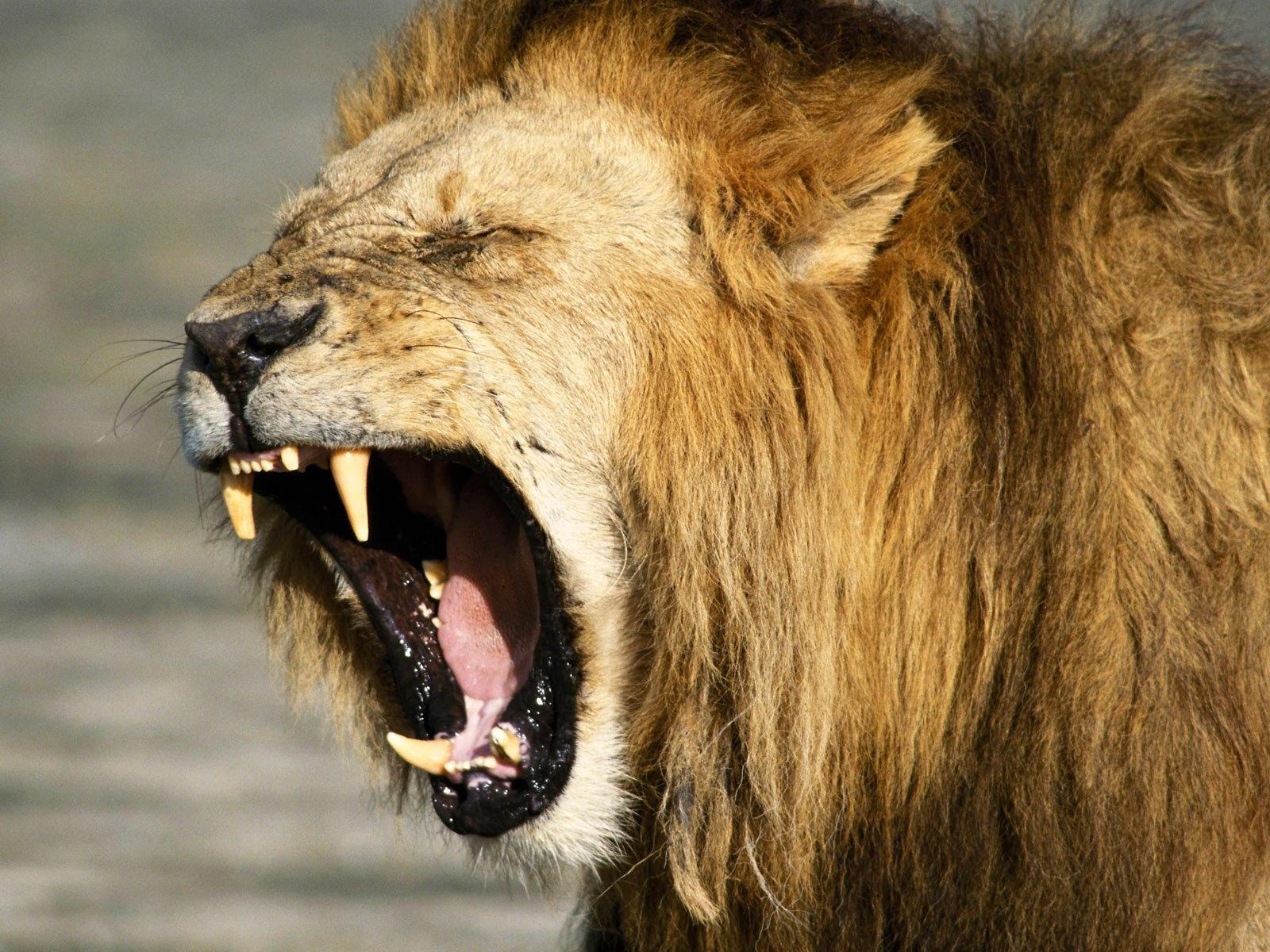Imagenes de leones imagen leon muy cabreado - Animales salvajes apareandose ...