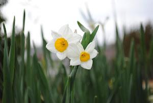 東京の不動産価格とは景気に左右されるBlogの花(スイセン)