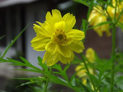 bunga tembelek