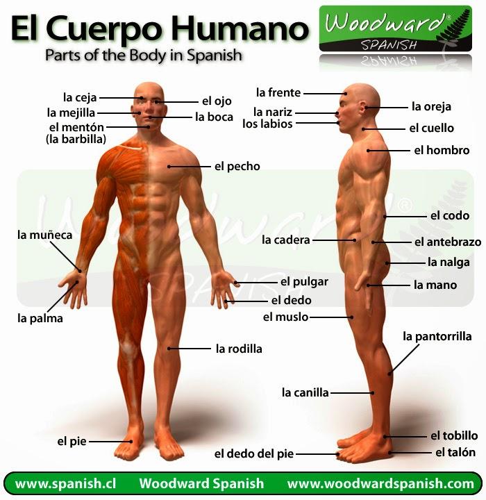 EL CUERPO HUMANO: EL CUERPO HUMANO