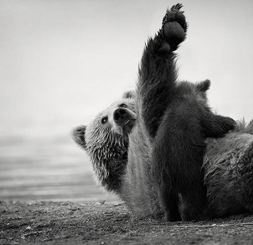 Ursos brincando