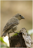 Mangrove Finch found at Black Turtle Beach, Isabela Island, Galapagos