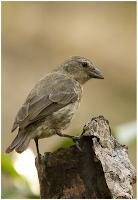 Mangrove Finch found at Black Turtle Beach, Isabela Island, Galapagos