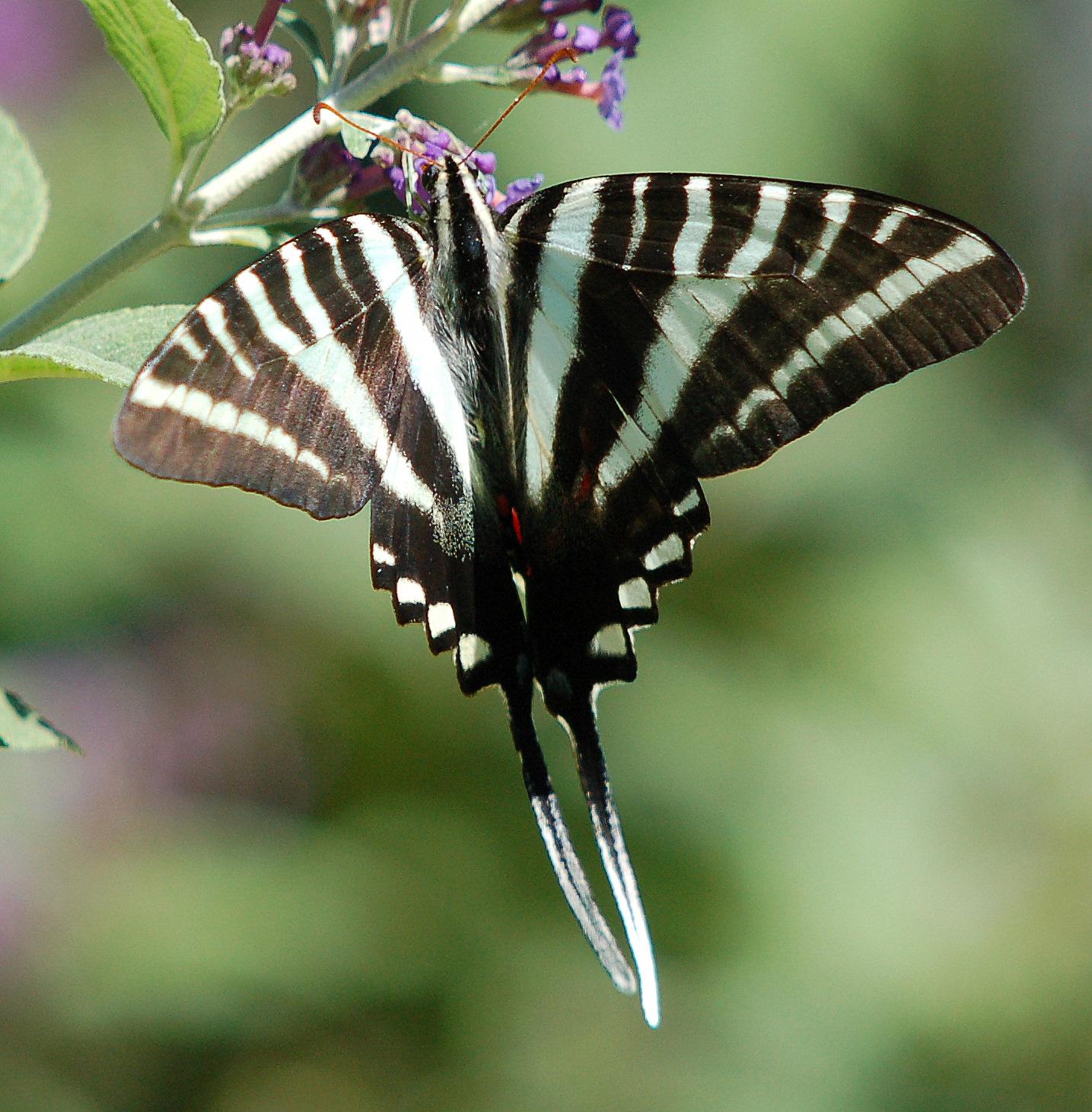 Zebra Swallowtail Butterfly Caterpillar The zebra swallowtail does notZebra Swallowtail Caterpillar