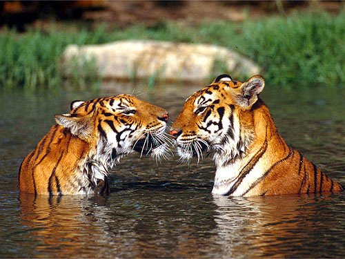 Y Tigers Are Endangered endangered Malayan tiger