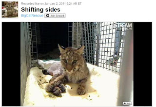 Rufus The Baby Bobcat Live Cam