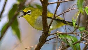 Daftar Harga Burung Pleci Terbaru Tgl. 1 Oktober 2015