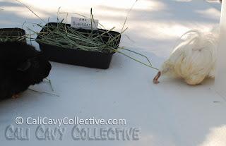 guinea pig bluegrass hay
