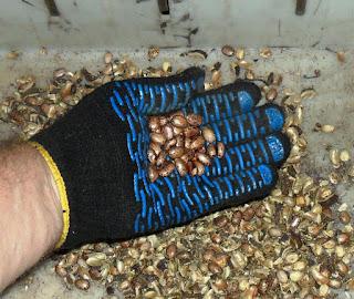Коробочки разрушены, семена можно отбирать.