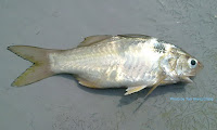 Blackspot Threadfin, Blackspot   Tasselfish