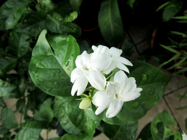Growing vegetables with ms green fingers white beauties i have more than one variety of jasmine in my garden the water jasmine is often used as a bonsai and the fragrant white flowers usually grow in a cluster mightylinksfo