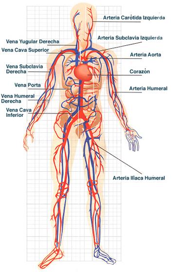 El sistema circulatorio explicado para niños - Imagui