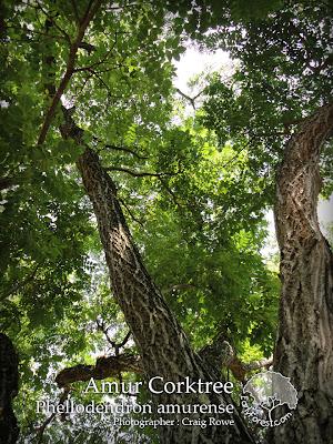Amur Corktree Tree