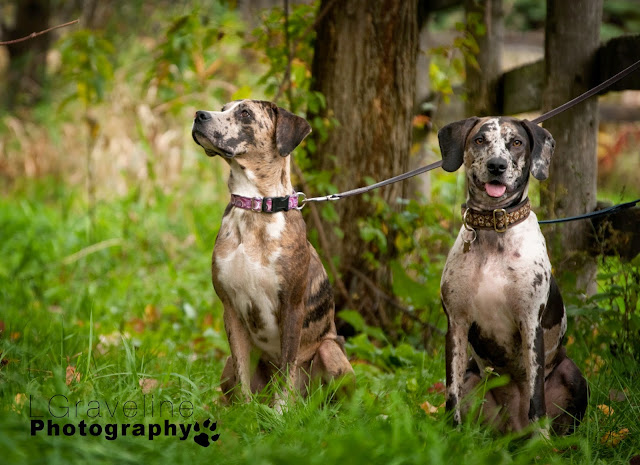 Catahoula Leopard Dog Rescue Ontario