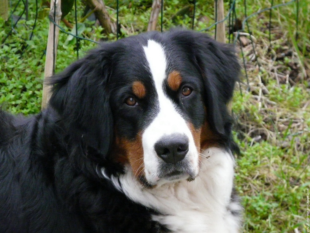 bernese mountain dog bernese mountain dogs pinterest. Black Bedroom Furniture Sets. Home Design Ideas