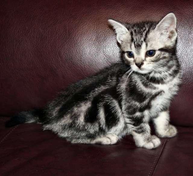 Arabian Mau Cat Breed Arabian Mau Cat Breed