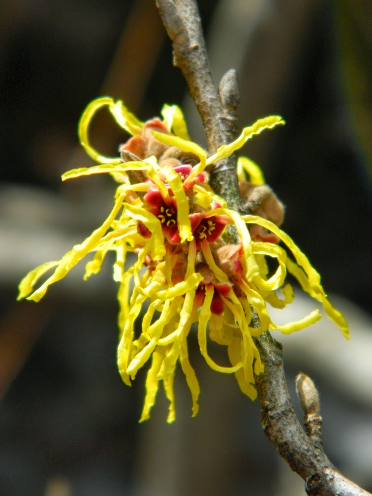 Hamamelis x intermedia Arnold Promise witch hazel spring blooms by garden muses-not another gardening blog