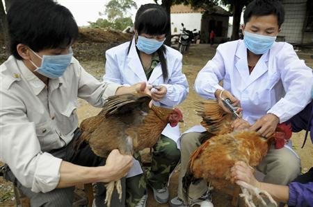 Technical staff from the animal disease prevention and control center inject chickens with the H5N1 bird flu vaccine in Shangsi county, Guangxi Zhuang autonomous region, April 3, 2013