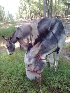 donkeys eat weeds