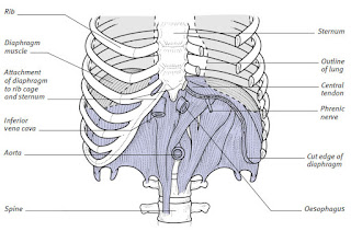 anatomy of the diaphragm
