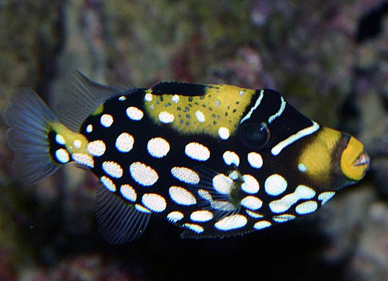 Animal unique clown triggerfish for Clown fish for sale