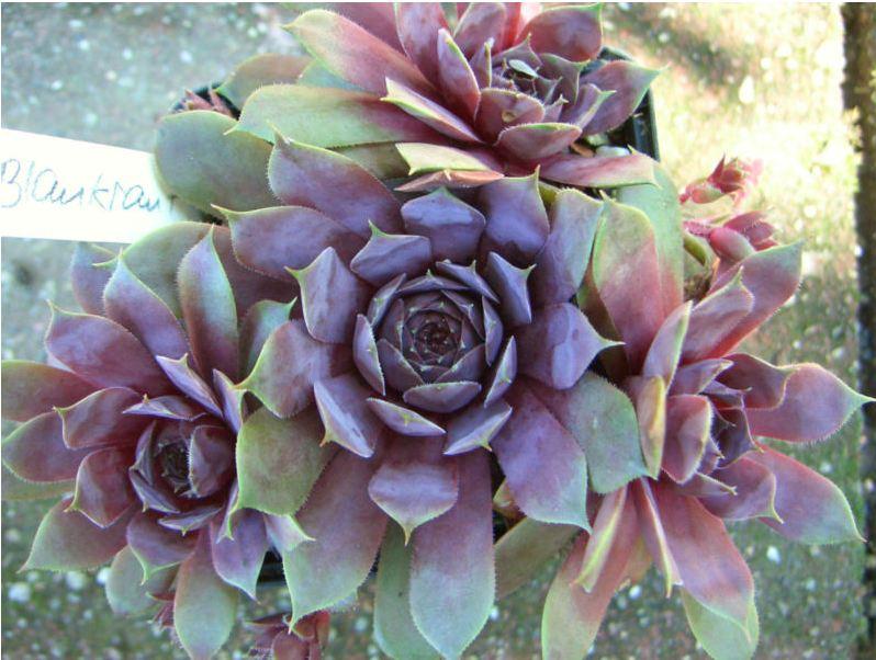 adenium world  plantes grasses cactus