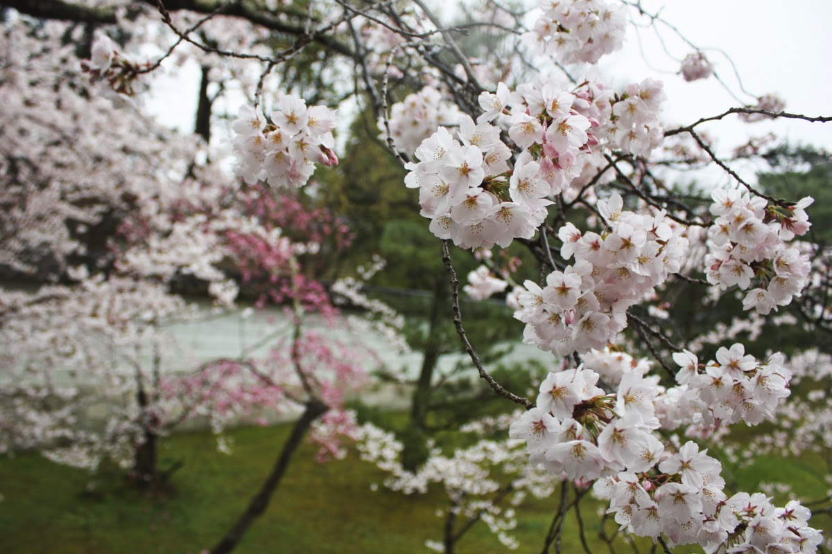 kyoto japan cherry blossoms rain