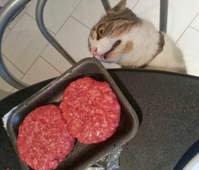 Funny cats - part 82 (40 pics + 10 gifs), cat photo, cat and two hamburger