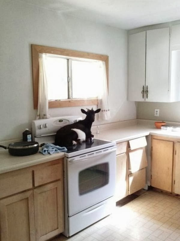 Funny animals of the week - 7 February 2014 (40 pics), goat sits on diswasher