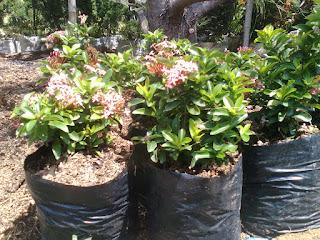 Jual pohon Asoka jambon