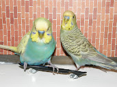 #3 Budgerigar Wallpaper